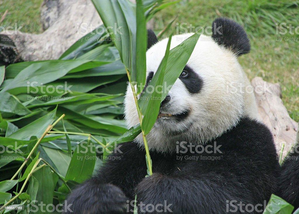 Portrait of giant panda bear royalty-free stock photo