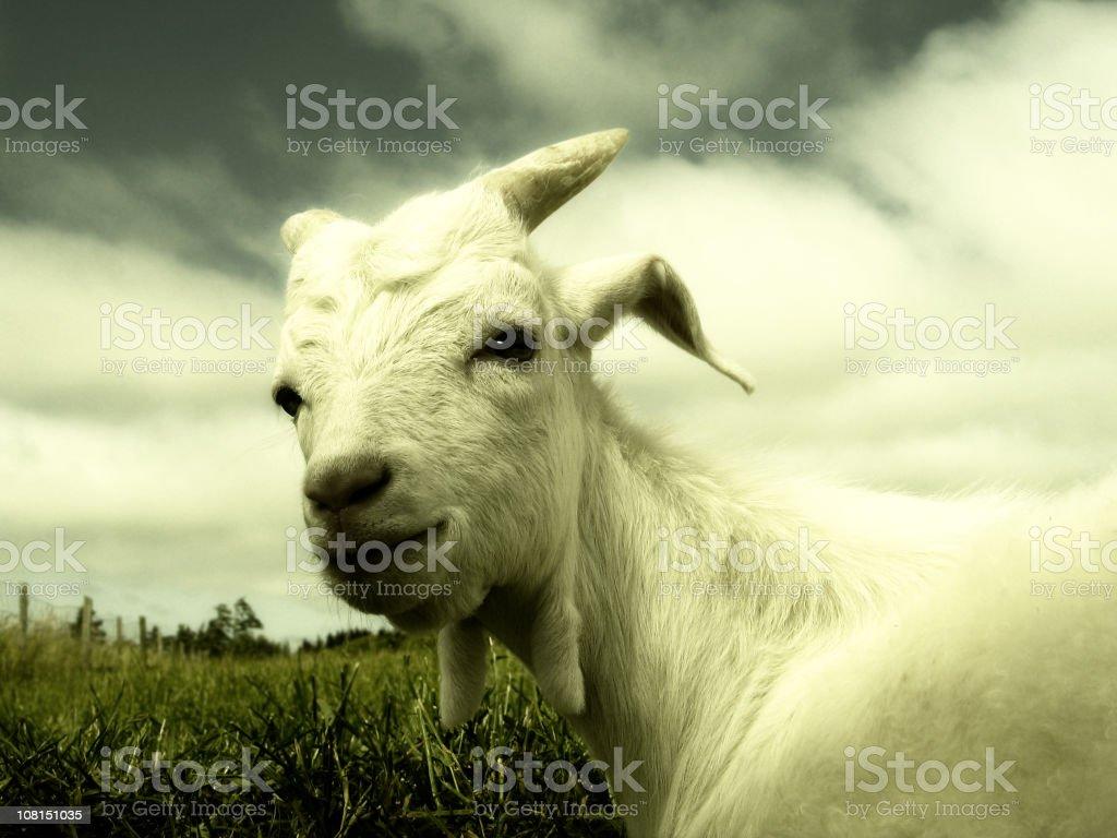 Portrait of Goat Outside in Field royalty-free stock photo