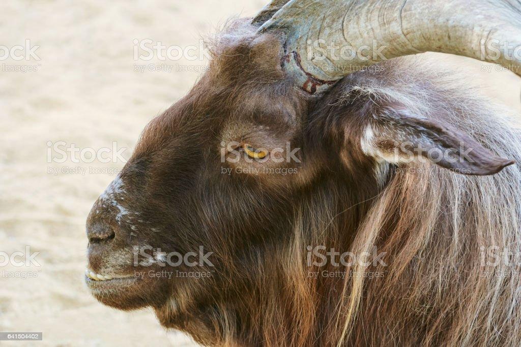 Portrait of Goat stock photo