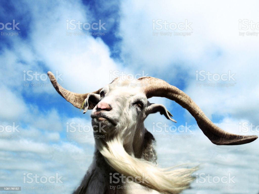 Portrait of Goat with Long Beard Against Blue Sky royalty-free stock photo