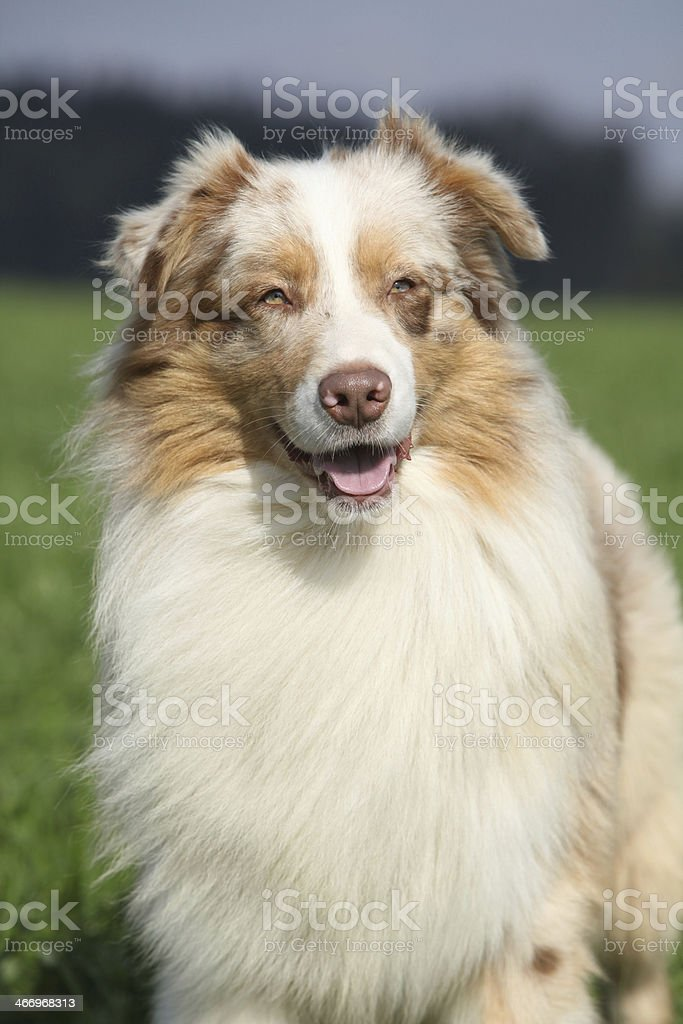 Portrait of gorgeous australian shepherd in nature royalty-free stock photo