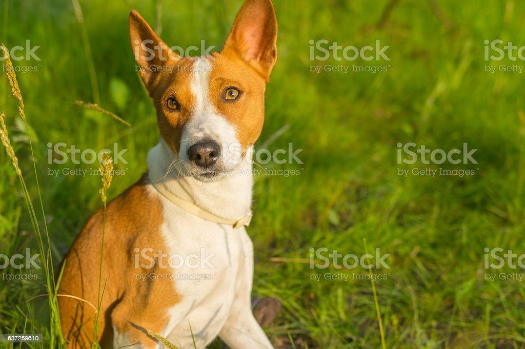 Portrait of gorgeous basenji dog delighting warm evening sun stock photo