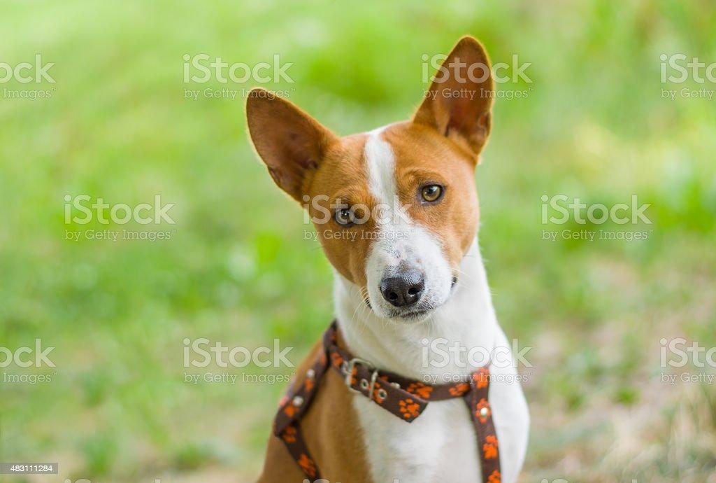 Portrait of gorgeous basenji dog stock photo