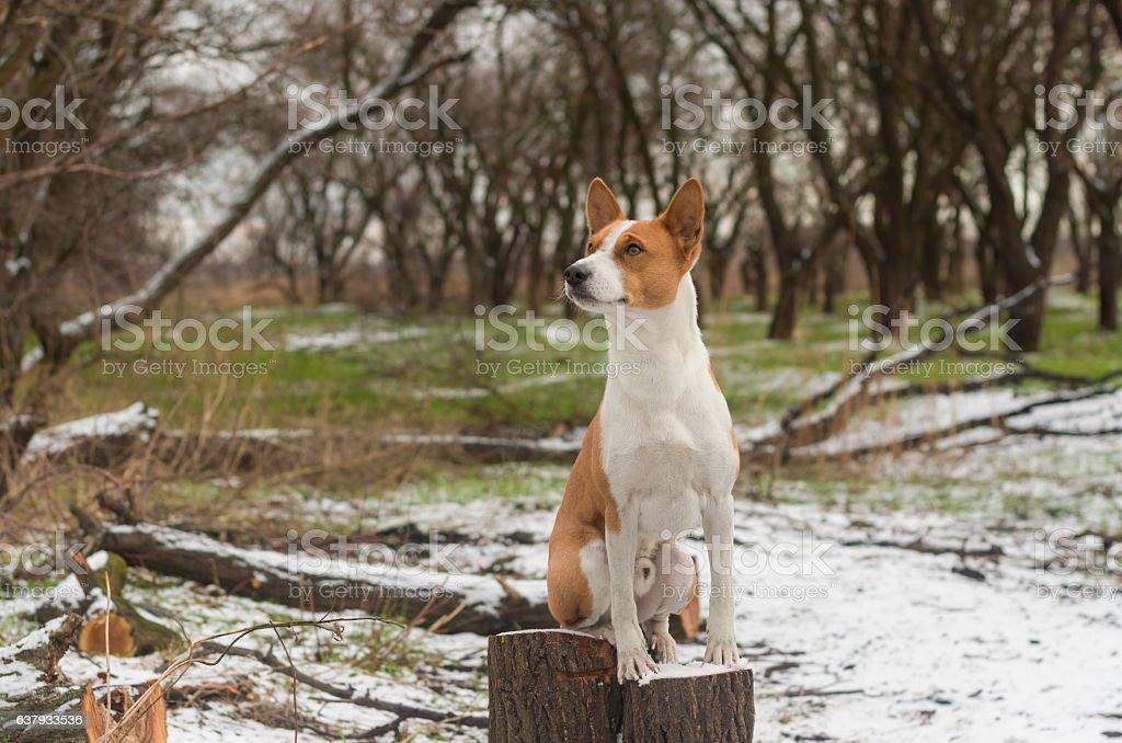 Portrait of gorgeous basenji dog sitting on a stub stock photo