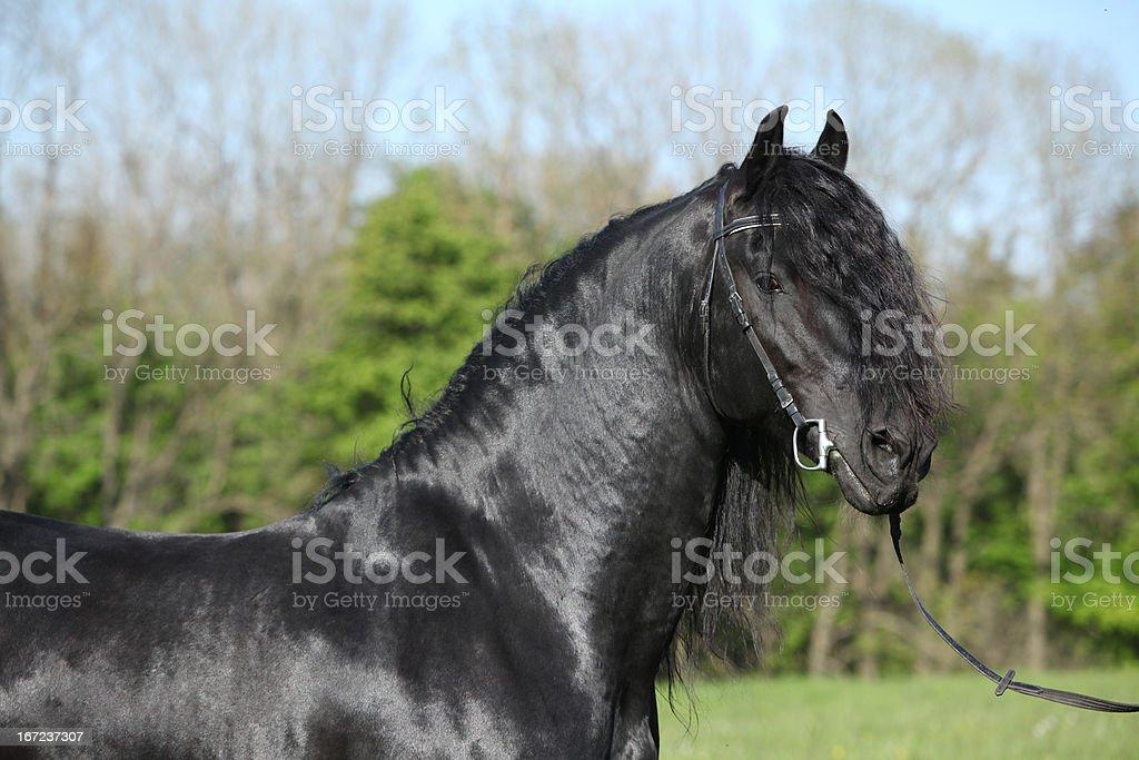 Portrait of gorgeous friesian stallion royalty-free stock photo