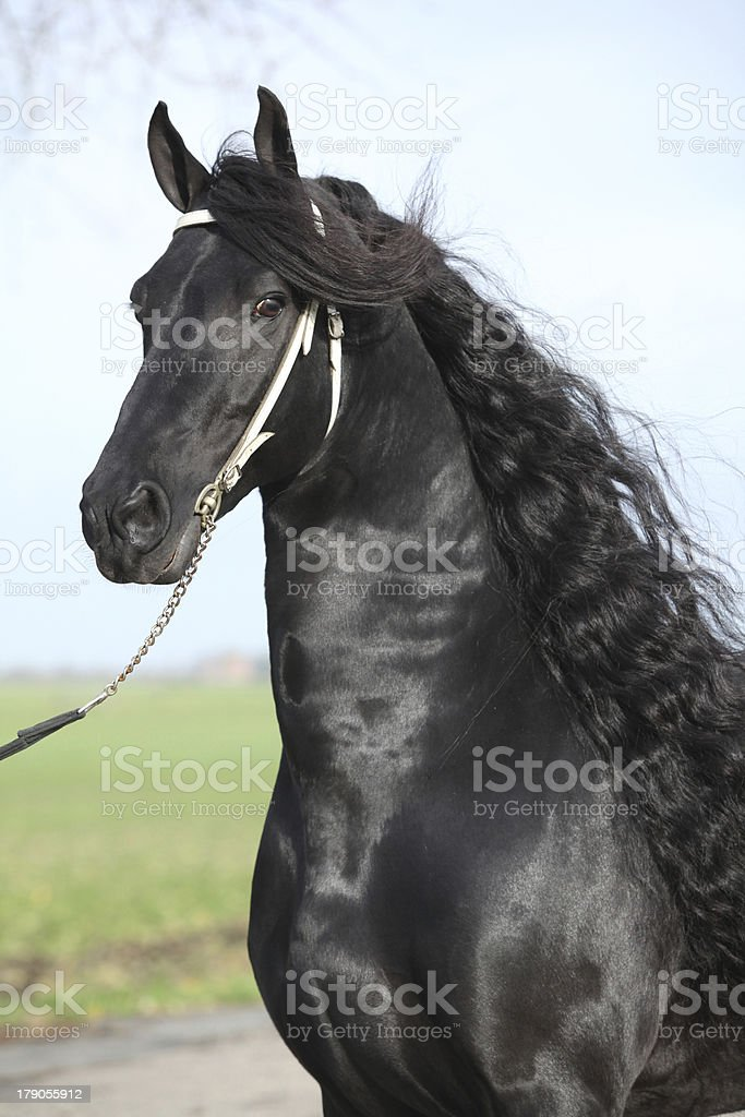 Portrait of gorgeous friesian stallion with perfect long hair royalty-free stock photo