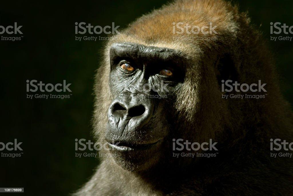 Portrait of Gorilla, Low Key stock photo