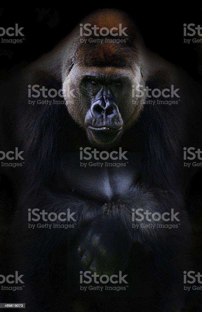 Portrait of gorilla stock photo
