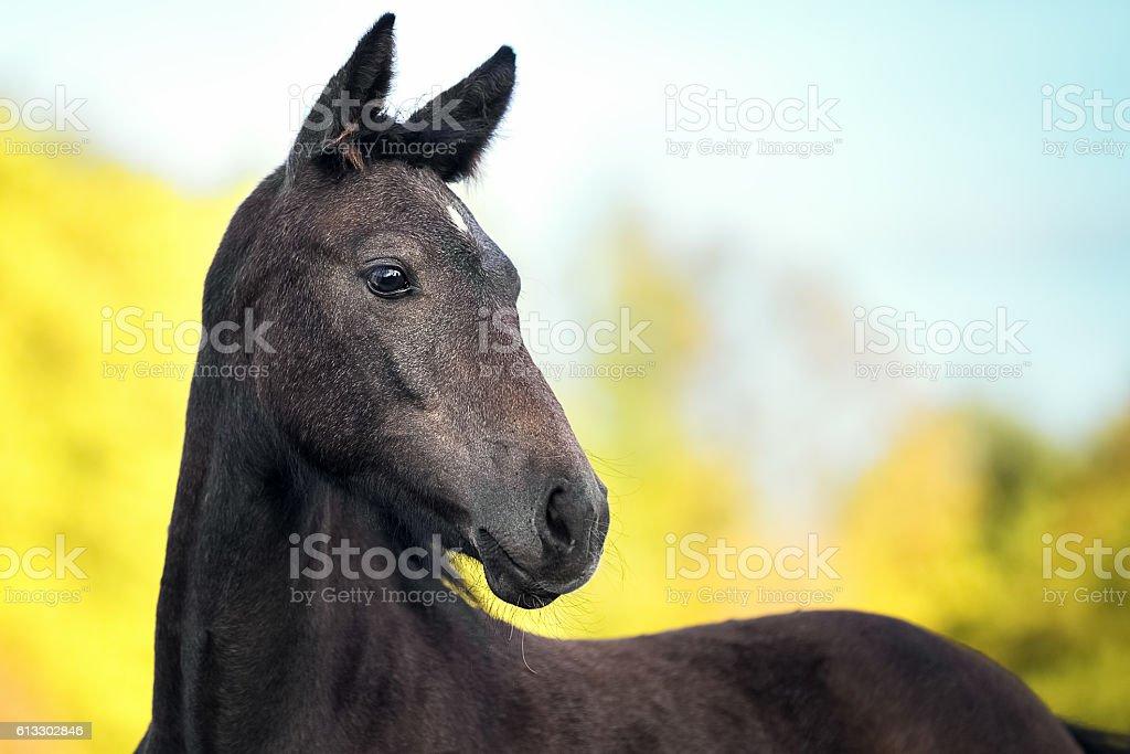 Portrait of gray foal crossbreed Arabian horse and Orlov trotter stock photo