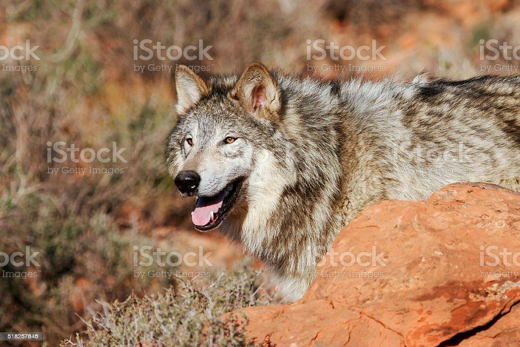 Portrait of Gray wolf stock photo