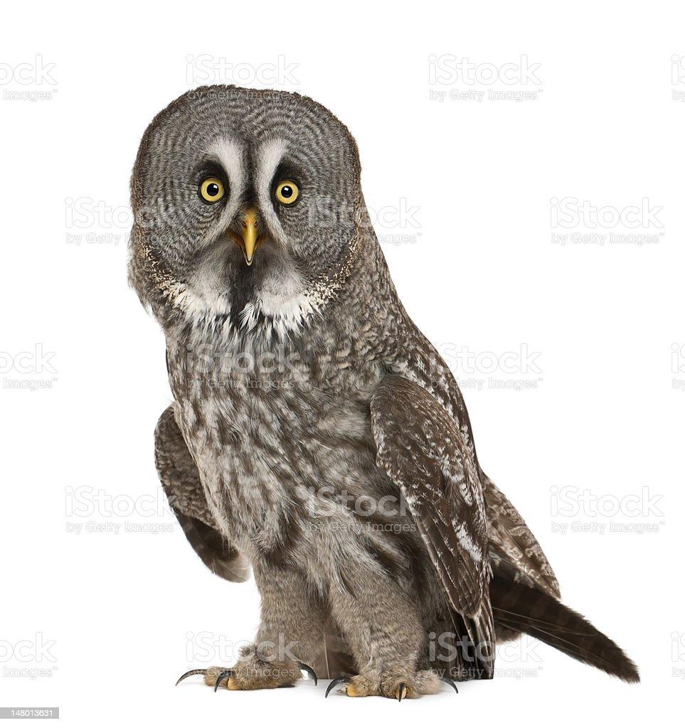 Portrait of Great Grey or Lapland Owl, Strix nebulosa stock photo