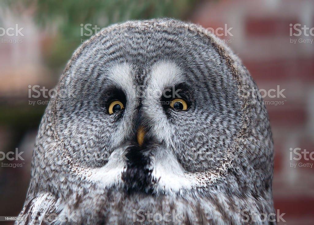 portrait of great grey owl - Strix nebulosa royalty-free stock photo