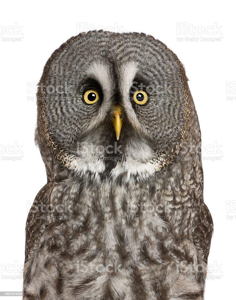 Portrait of Great Grey Owl, Strix nebulosa stock photo
