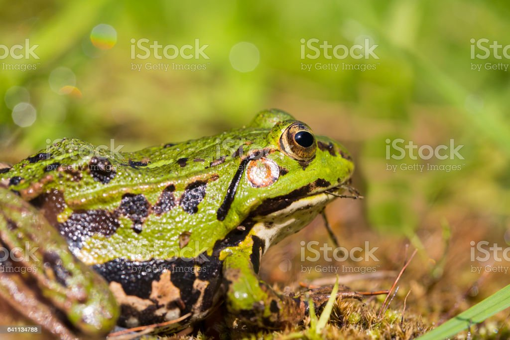 portrait of green frog (Rana esculenta) sitting in natural environment stock photo