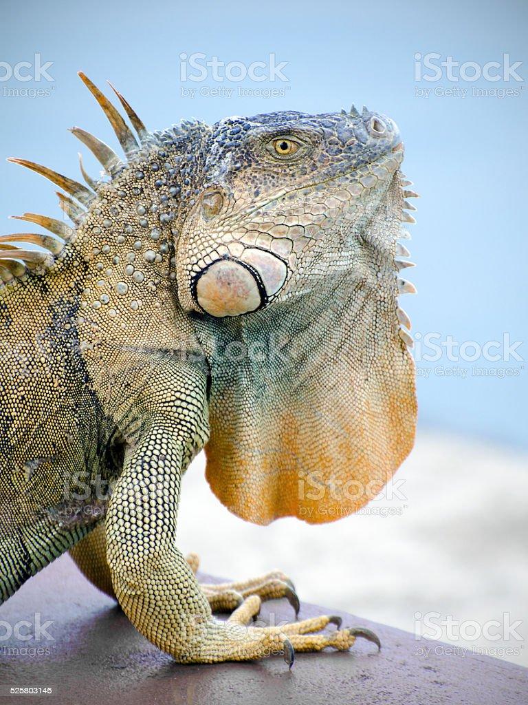 portrait of green iguana, Iguana iguana stock photo