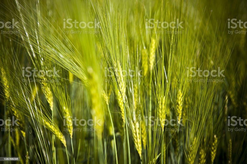 Portrait of Green Wheat Field royalty-free stock photo