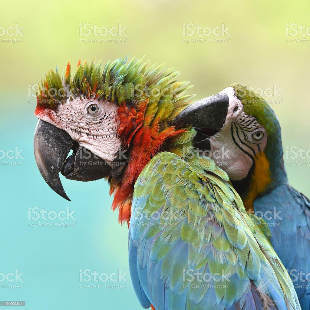 Portrait de vert Ara ailes de toilettage ses plumes photo libre de droits