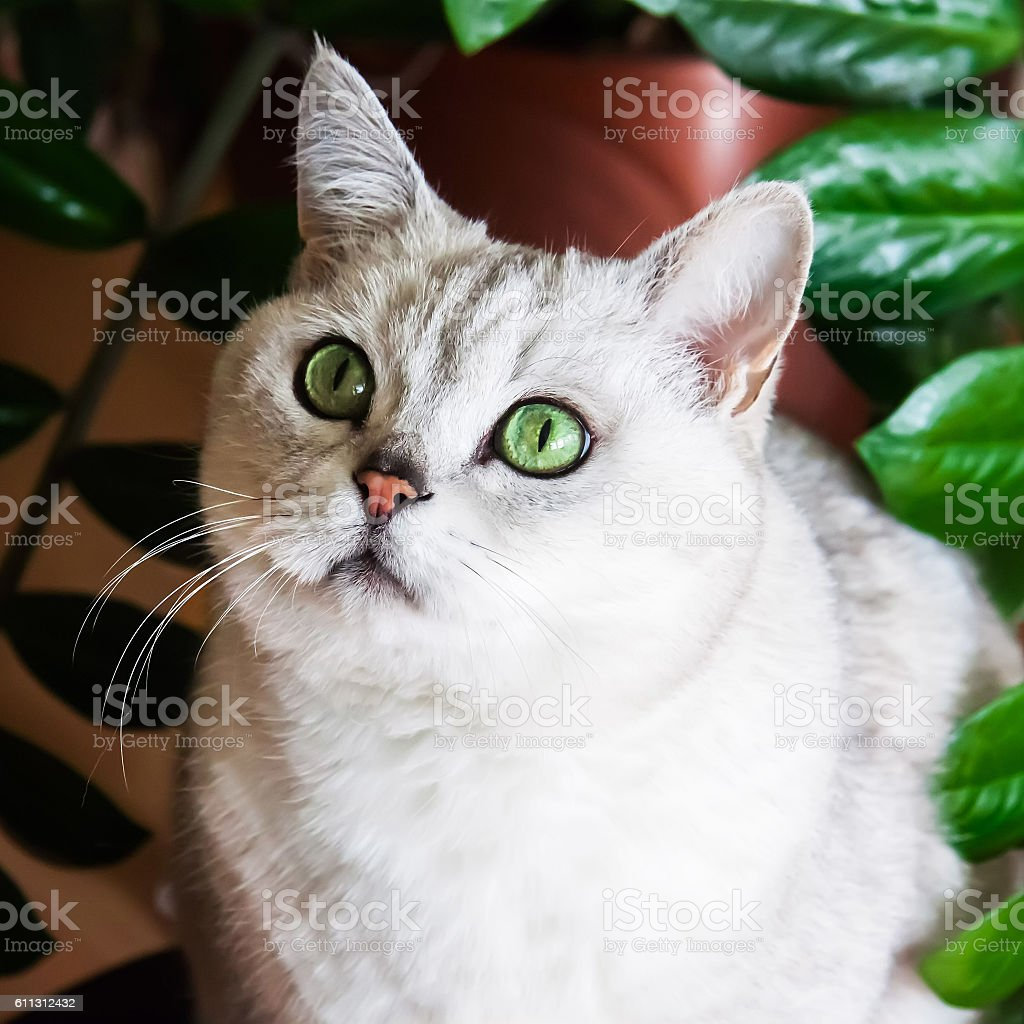 Portrait of green-eyed white cat next to houseplant, stock photo
