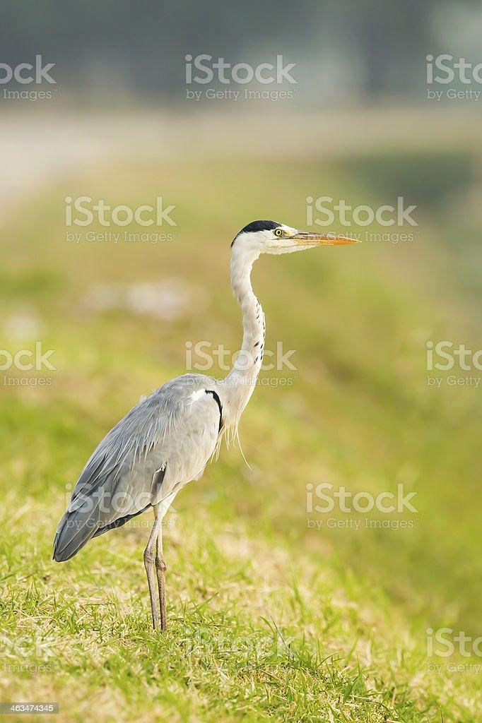 Portrait of Grey heron stock photo