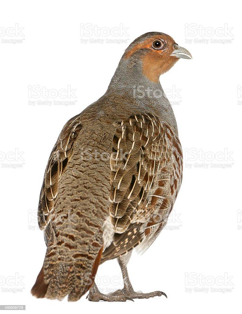 Portrait of Grey Partridge, Perdix, also known as the English royalty-free stock photo