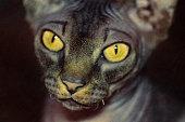 Portrait of hairless Sphynx cat, yellow eyes, strange brow
