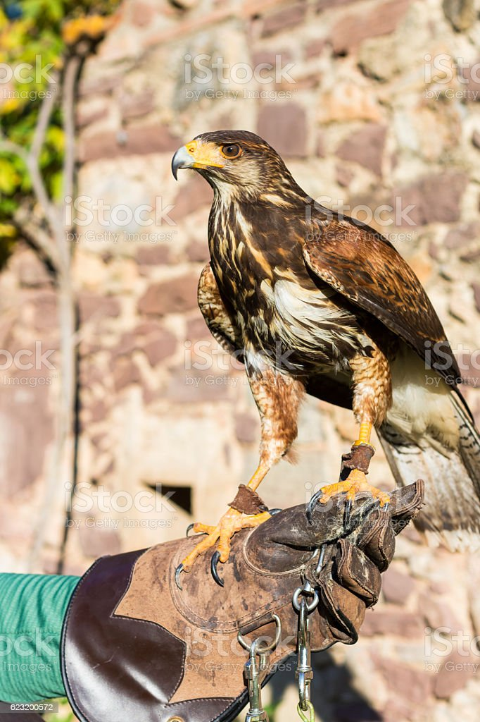 Portrait of Harris Hawk on a trainer's glove stock photo