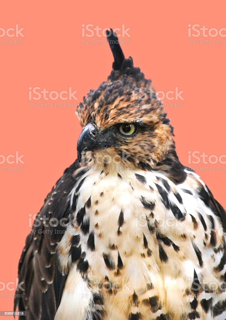 Portrait of Hawk Isolated on Pink Background stock photo