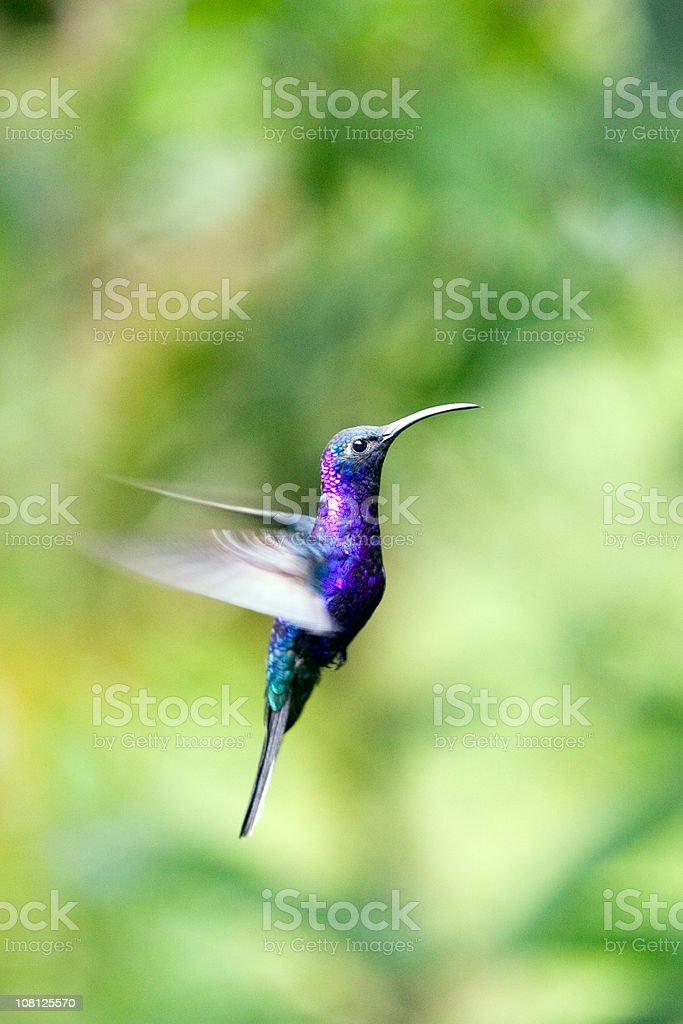 Portrait of Hummingbird Flying in Rainforest stock photo