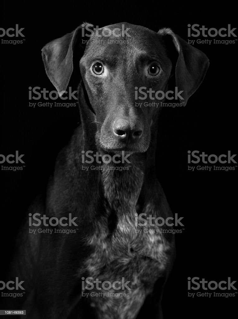 Portrait of Hunter Dog stock photo