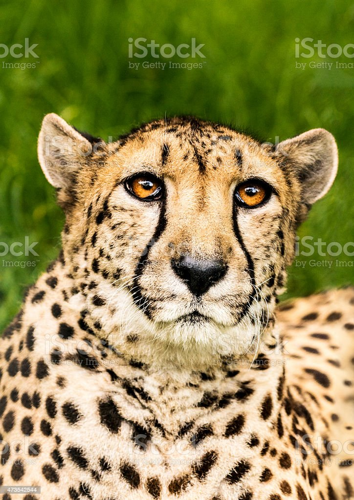 Portrait of hunting cheetah in high grass stock photo