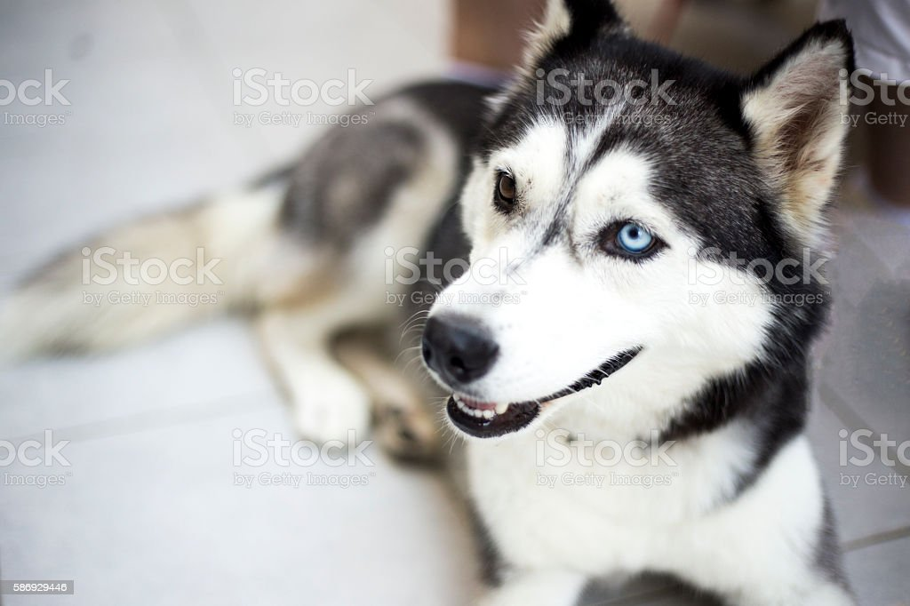 Portrait of Husky  with one brown and one blue eye stock photo