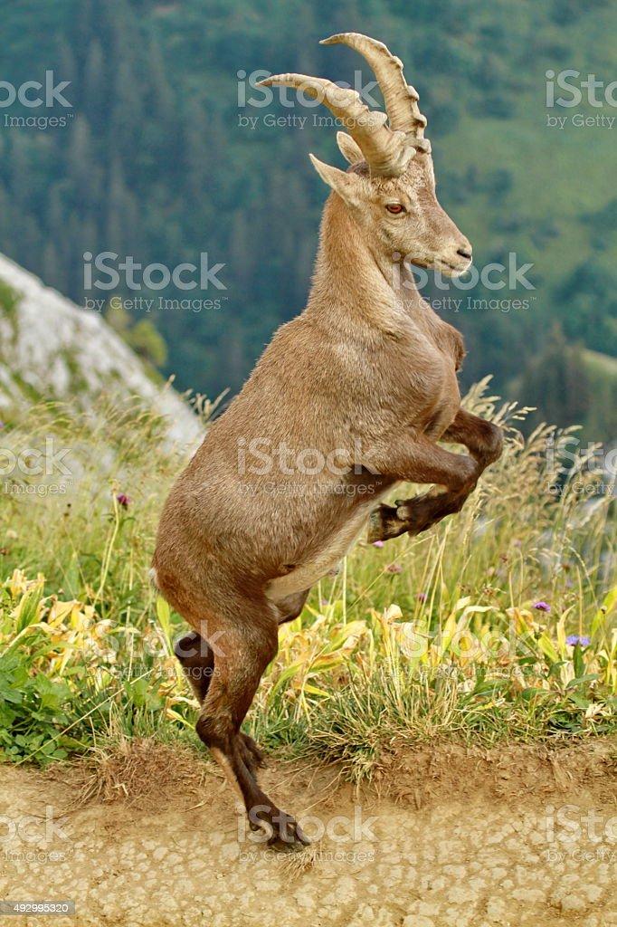 Portrait of ibex stock photo