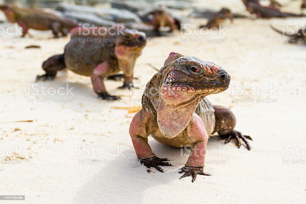 Portrait of iguana on the beach - Bahamas stock photo