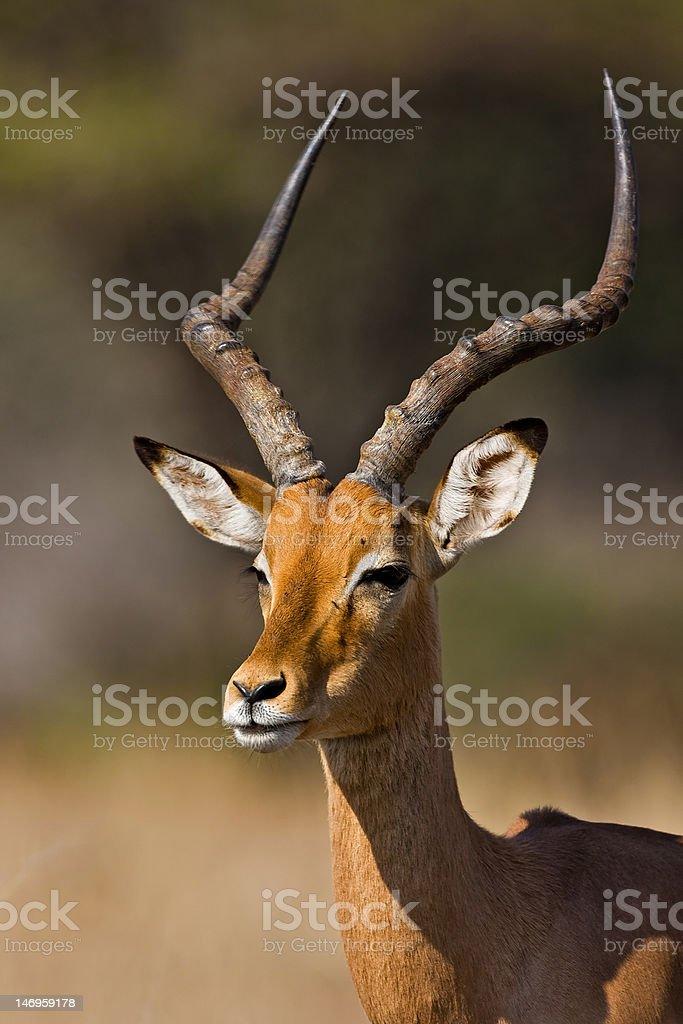 Portrait of Impala stock photo