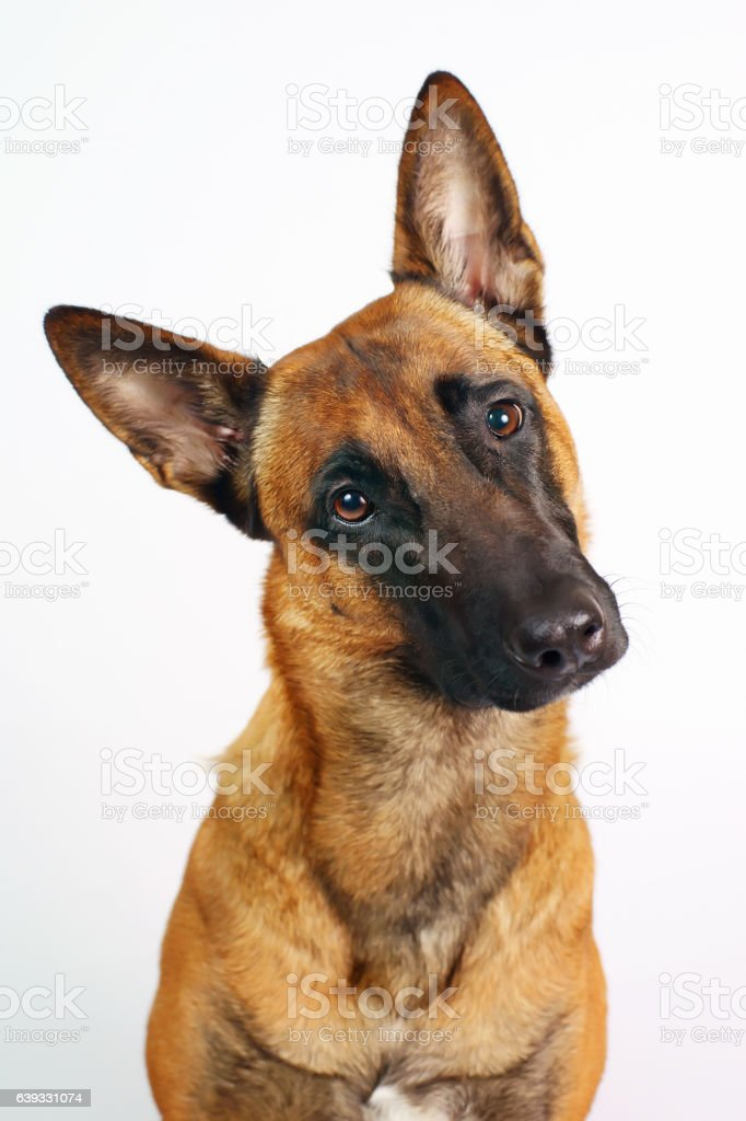 Portrait of interested Belgian Shepherd dog Malinois on white background stock photo