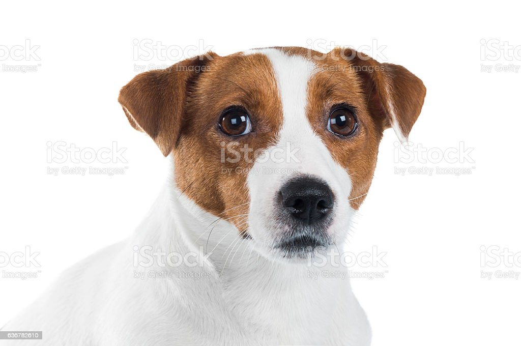 portrait of Jack Russell Terrier stock photo