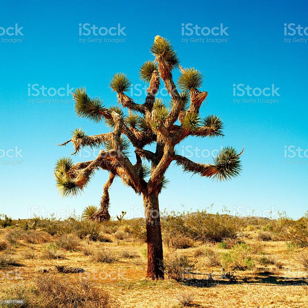 Portrait of Joshua Tree California under clear blue sky stock photo