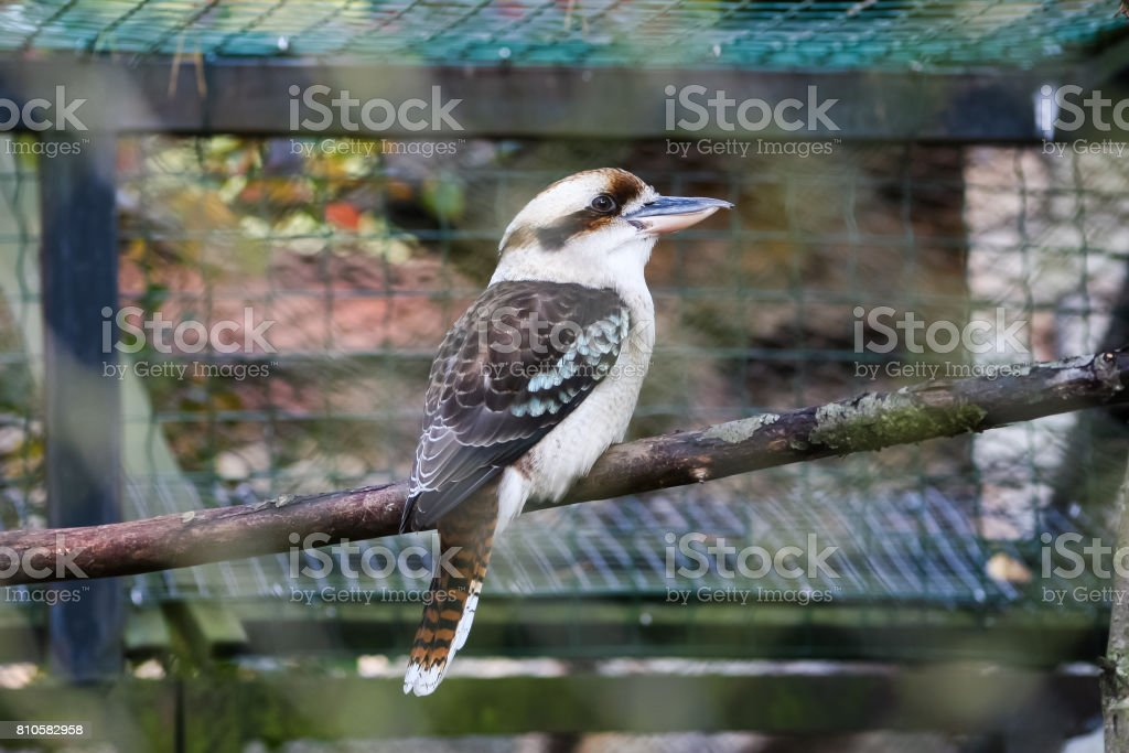 A portrait of kookaburra in the zoo stock photo