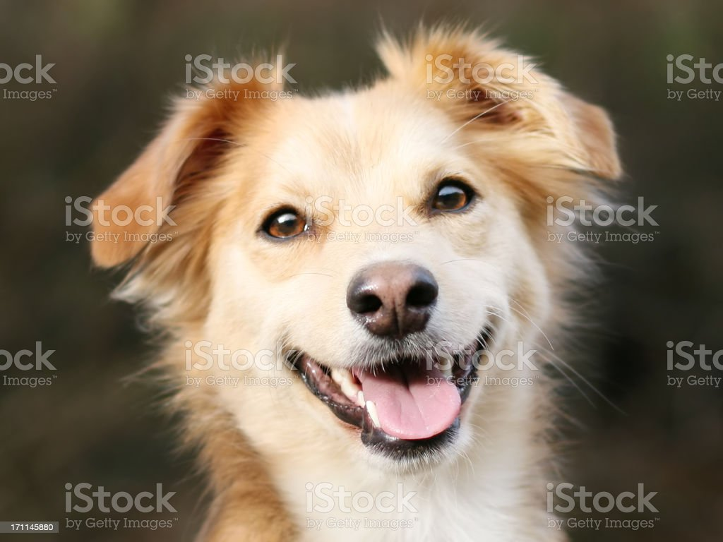 Portrait of Labrador mix happily panting royalty-free stock photo