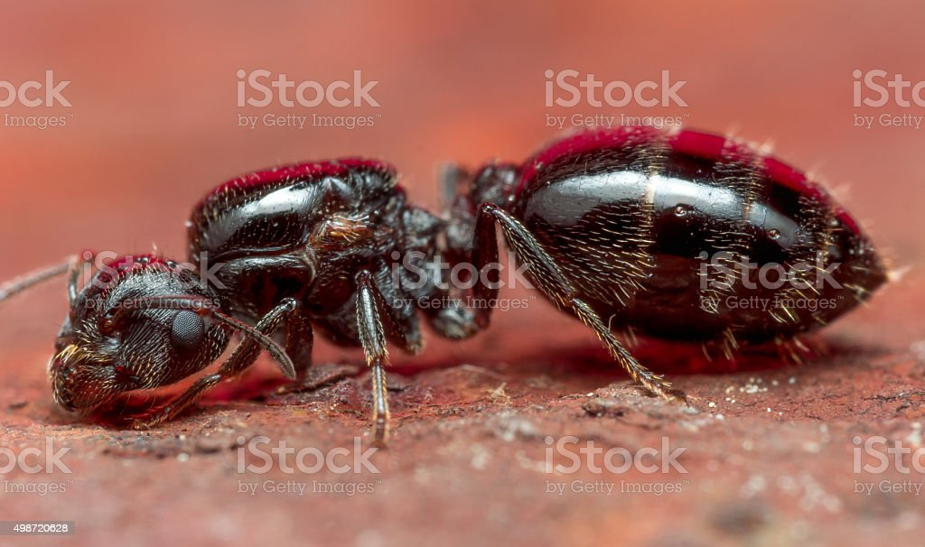 Portrait of Large Black Carpenter Ant on Rusty Red Surface stock photo