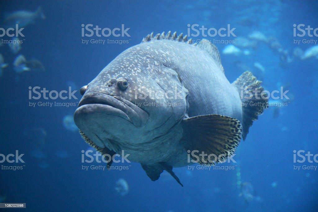 Portrait of Large, Fat Grouper Fish in Aquarium stock photo