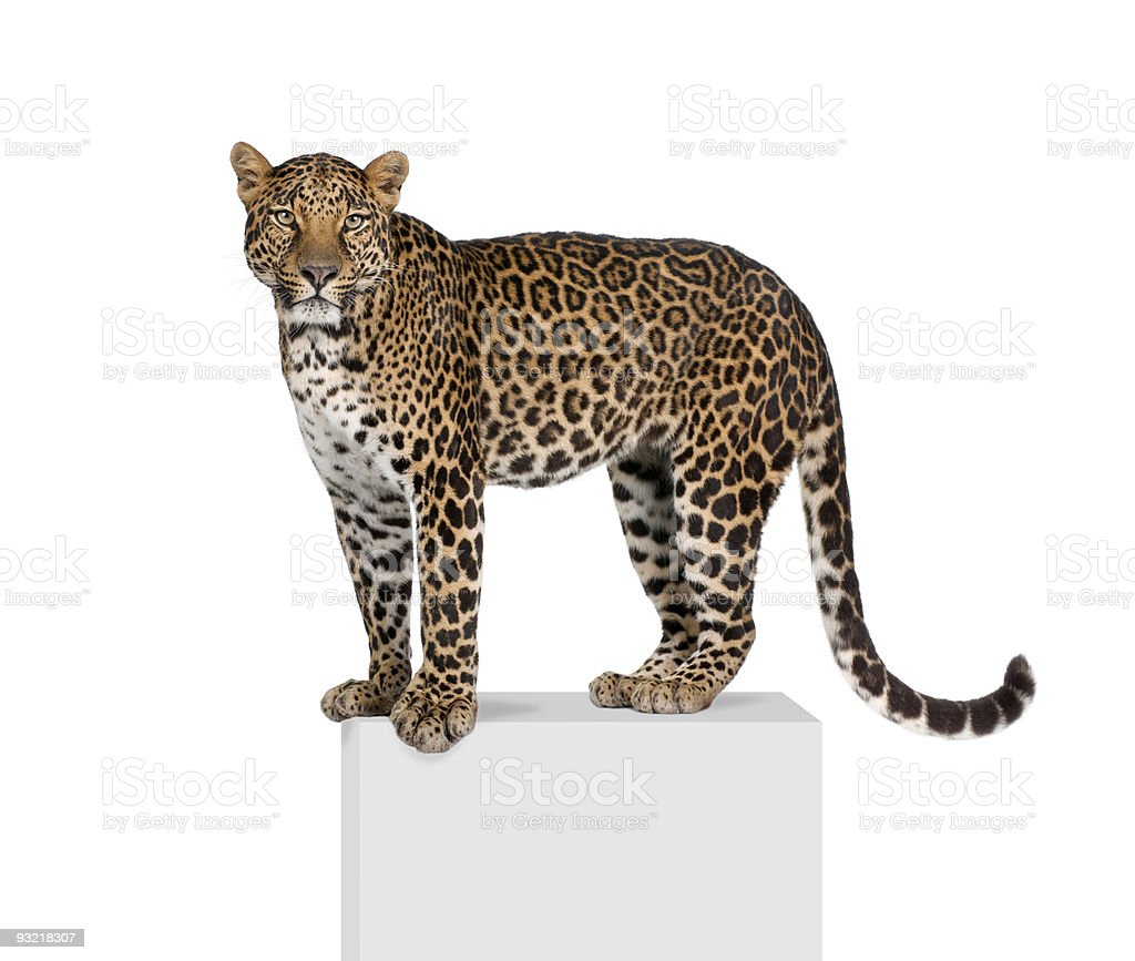 Portrait of leopard, Panthera pardus, on pedestal against white background royalty-free stock photo