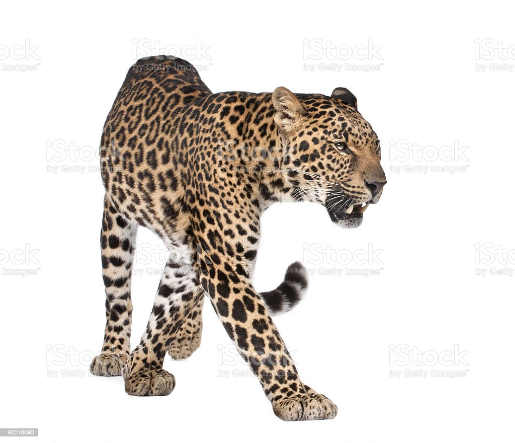 Portrait of leopard, Panthera pardus, walking, studio shot royalty-free stock photo