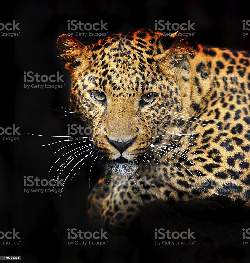 Portrait of leopard royalty-free stock photo