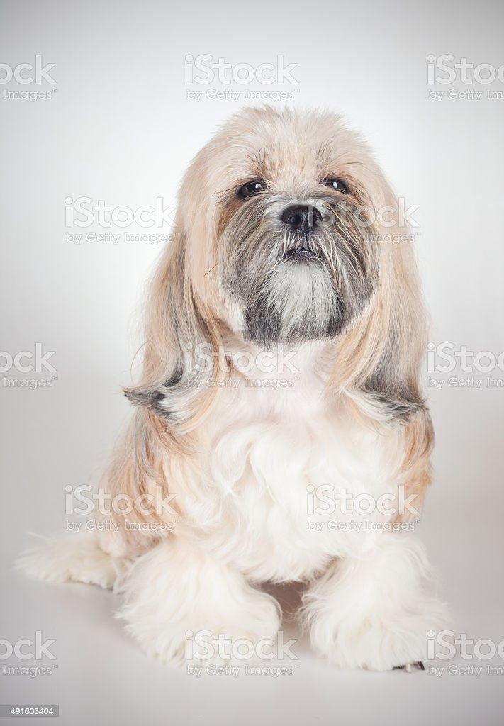 Portrait of lhasa apso dog stock photo