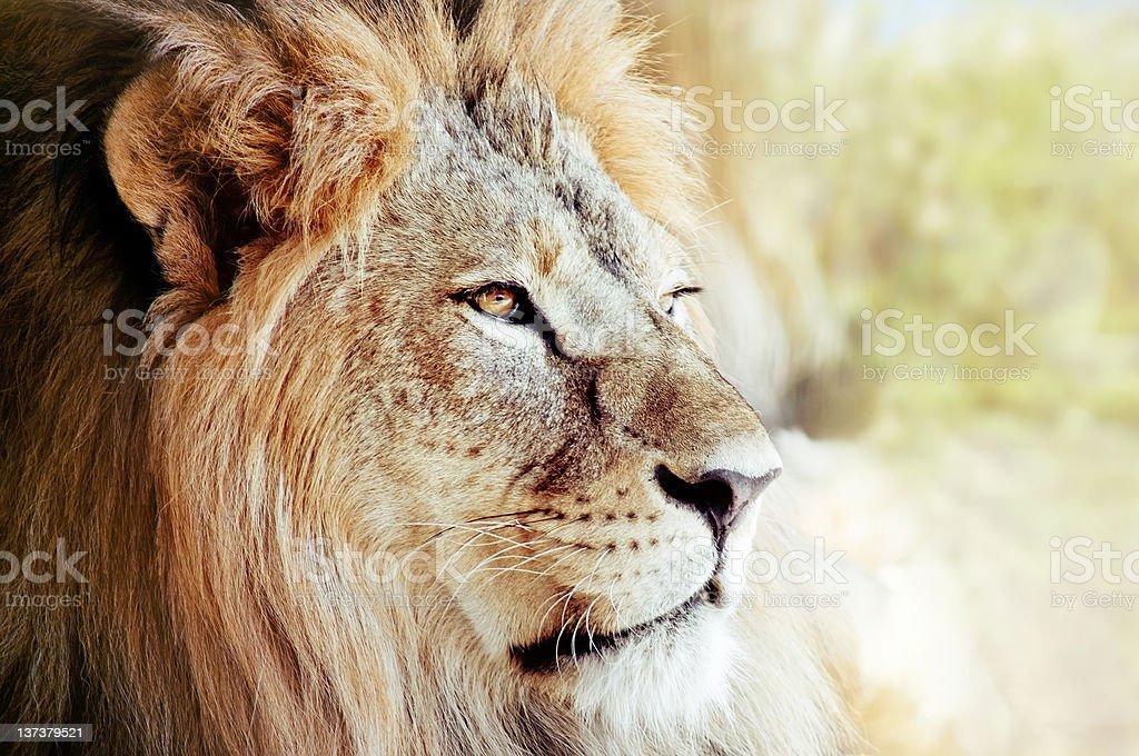 Portrait of lion royalty-free stock photo