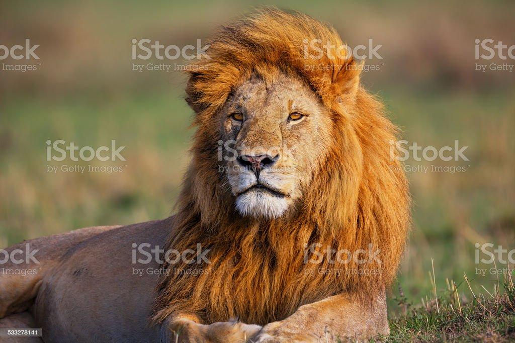 Portrait of Lion Romeo 2 in Masai Mara stock photo