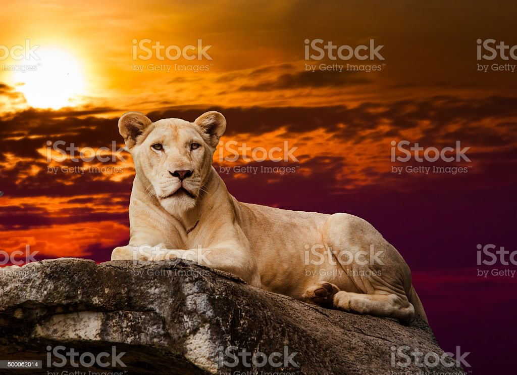 portrait of lioness.  Lioness lying on rock stock photo
