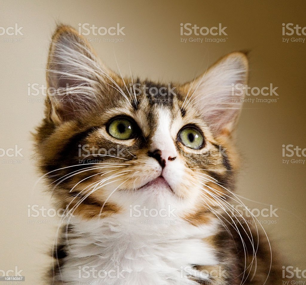 Portrait of Little Tabby Kitten Looking Up royalty-free stock photo