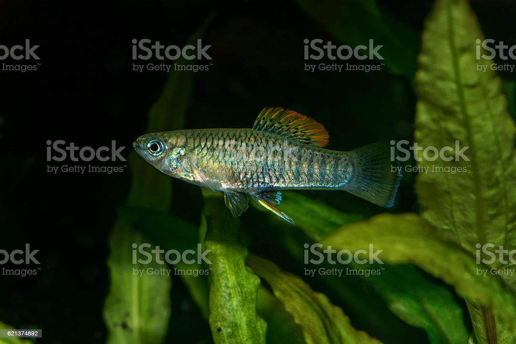 Portrait of livebearer fish (Brachyrhaphis roseni) in aquarium stock photo